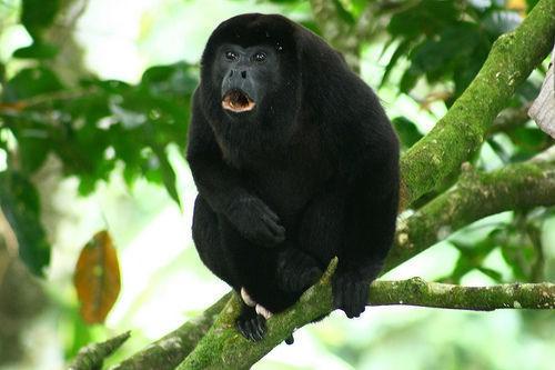 Descubran la fauna de Punta Sal en honduras con monos aulladores